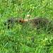 Une jeune marmotte s'enfuit...