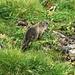 Intrépide ou inconsciente, la jeune marmotte?