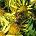 auch die Biene schätzt das sehr