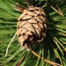 Zapfen der Schwarzkiefer (Pinus nigra).