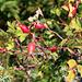 Hagebutten - Früchte der Alpenheckenrose