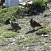 Hüttenhühner