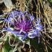 Diese hübsche, kurzstielige Bergflockenblume erhält sicher wenig Beachtung