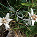 Leontopodium alpinun