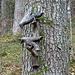 Rund um Einsiedeln omnipräsent: Die zwei treuen Raben des hl. Meinrad. Die Legende kann [http://www.sagen.at/texte/sagen/schweiz/allgemein/raben_meinrad.html hier] nachgelesen werden.