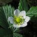 Mitte November: die Walderdbeere blüht / La fragola in fiore a metà di novembre