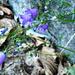 Val Lodrino - fragile letzte Glockenblumen vor dem Schneeeinbruch