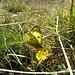 Goldene Acht (Colias hyale) oder Hufeisenklee-Gelbling (Colias alfacariensis), die beiden Arten sind offenbar wegen der grossen Variabilität kaum zu unterscheiden.