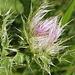 Unterwegs zwischen Ozero Donguzorun und Aj (Mittelstation des Sesselliftes) - Neben unzähligen anderen Pflanzen gibt es auch einige stachelige.