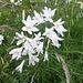 ...schöne weiße Lilien.