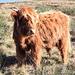 Una delle tante mucche scozzesi