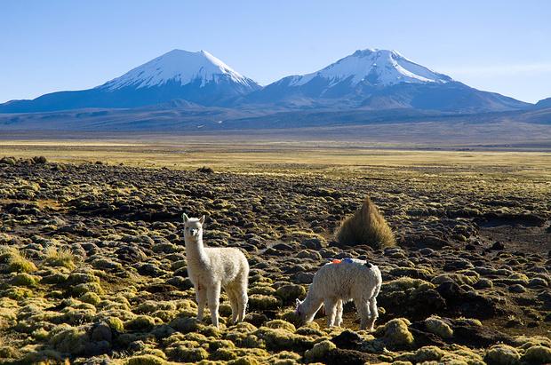 Alpakas vor Parinacota und Pomerape