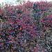Heidelbeeri glaciert