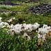 Des champs entiers de dryas octopetala défleuries