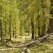 Bellissima discesa all'interno di un bosco di larici.