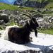 Chèvre à Oberbärgli : l'animal fait le beau alors que les photographes se pressent pour le photographier!