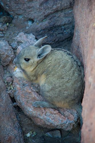 Ein Biscacha - Vorne Hase, hinten Murmeltier