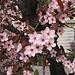 Heimfahrt mit Stop in Cuneo, hier blühen bereits die Mandelbäume ...