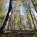 Herrliche Birkenwälder