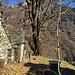 Il grande rovere dell'Alpe La Piana