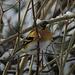 Bergfink (Fringilla montifringilla) ♂