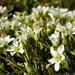 Peu de fleurs à photographier à cette saison... il s'agit d'une sorte de Sabline, j'imagine.