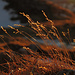 Goldenes Gras / Erba dorata