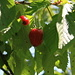 Rare species of a strawberry/cherry tree (Fragola cherrata), only found in Tschingla (GL)… when 360 walks by :-)