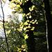 Herbstliches Ahorn