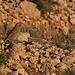 Unscharfer Wüstengimpel (Bucanetes githagineus). Das Cabo de Gata ist einer der einzigen Standorte, an dem dieser Vogel in Europa vorkommen.