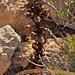 Irgendeine Sommerwurz (Orobanchaceae)