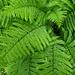 Farn, eine meiner Lieblingspflanzen