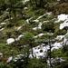 """Das """"Hexenwäldli"""" im Brüeltobel. Diese Bäume sind zum Teil über 100 Jahre alt und dennoch kaum über 1 Meter hoch. Der Grund liegt darin, dass der Boden auch im Sommer gefroren ist. Eine Art """"Bonsai-Kultur""""..."""