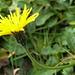 Auch jetzt noch blühen auf der Alp Sigel Blumen