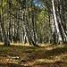 Birkenwald bei Frec