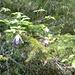 Un abete fiorito! Specie unica, presente solo in Engadina