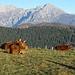 Mucche al pascolo con alle spalle il gruppo delle Grigne.