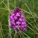 Knabenkraut (Orchis morio)