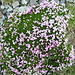 Gegenblättriger Steinbrech (Saxifraga oppositifolia) gehört zur Gattung Steinbrech (Saxifraga) und zur Familie der Steinbrechgewächse (Saxifragaceae).
