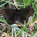 This is most likely a bright-eyed ringlet (Doppelaugen Mohrenfalter, Erebia oeme)