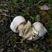 "2 Roman snails (Weinbergschnecke, Helix pomatia) ""making out"""