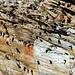 Hirondelles de fenêtre rassemblées dans les rochers du Lauenehore