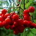 Fruits du Sorbier des oiseleurs
