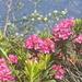 schöne Alpenrosen