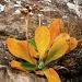 Primula auricula (ou ce qu'il en reste!)