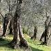 Olivenhainwanderung