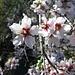 Die Mandelblüte kann man auf Teneriffa im Januar und Februar bewundern.