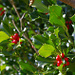 Stechpalme, eingeschlechtig, weibliche Pflanze (Ilex aquifolium)