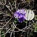 """Im Abstieg vom Sattel zwischen Aragats Süd- und Westgipfel zum Kari-See - Überall """"Blumen zum Selbstpflücken""""? Wirklich groß ist der Strauß allerdings nicht. Deshalb haben wir die zehn Cent wieder mitgenommen. Und die Blumen natürlich stehen gelassen."""