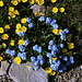 Im Abstieg zwischen Aragats-Südgipfel und Kari-See - Bei bestem Wetter blühen unzählige Blumen, hier noch unweit des Gipfels.